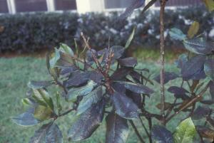 sooty mold from Toumeyella liriodendri -Buss-thumbnail_h689_w1025
