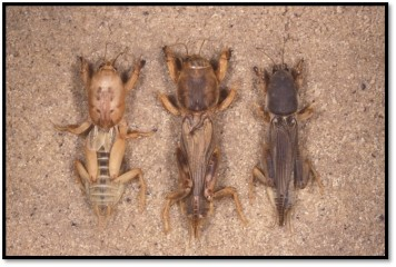 Picture 1 - Three invasive mole crickets